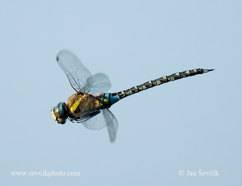 Photo of šídlo pestré Aeshna mixta Migrant hawker Herbst-Mosaikjungeer