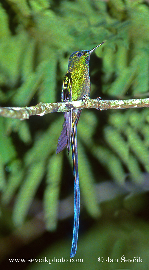 Photo of kolibřík Kingův Aglaiocercus kingi Long-tailed Sylph Himmelssylphe