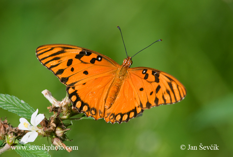 Photo of Agraulis vanillae Passion Butterfly