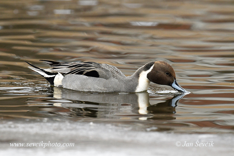 Photo of ostralka štíhlá Anas acuta Pintail Spiessente
