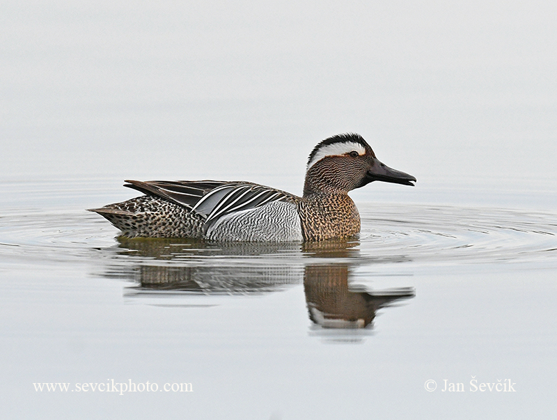 Photo of čírka modrá Anas querquedula Garganey Knäkente