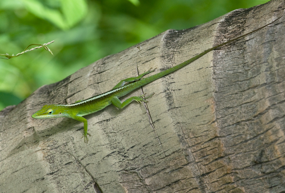 Photo of anolis vepří Anolis porcatus Cameleón Cuban Green Anole