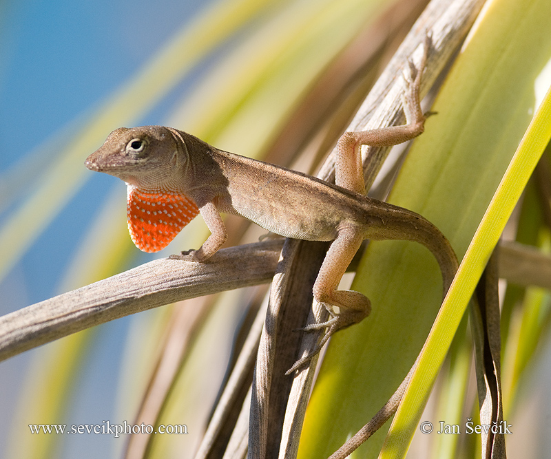 Photo of Anolis hnědý Anolis sagrei Brown Anole Bahamaanolis Lagartia