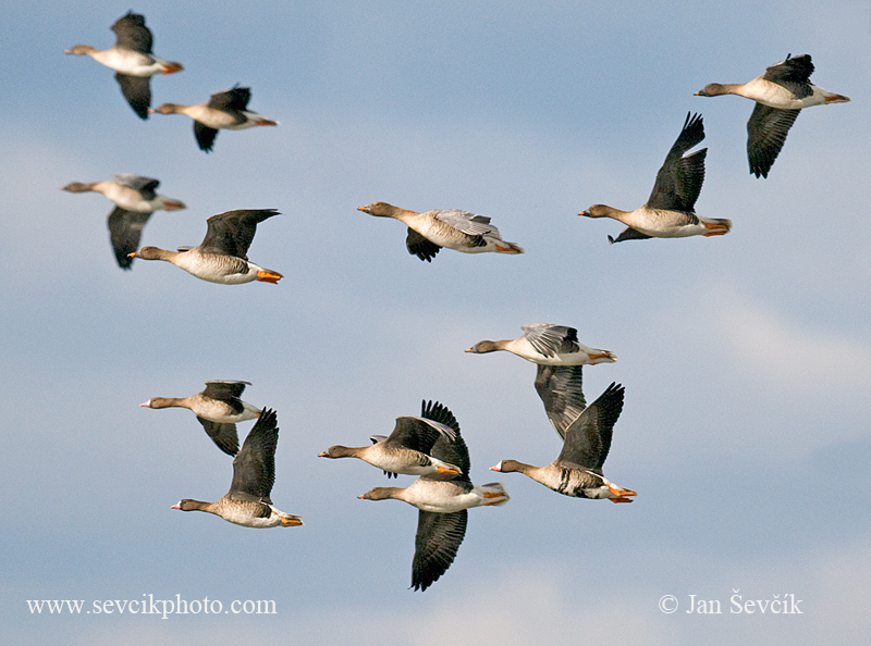 Photo of husa běločelá Anser albifrons husa polní A. fabalis Greated White-fronted Goose