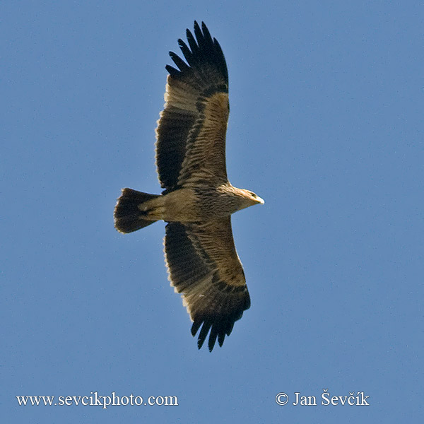 Photo of orel královský Aquila heliaca Imperial Eagle Kaiseradler