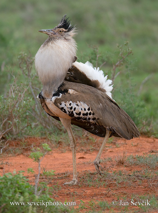 Photo of  drop kori Ardeotis kori Kori Bustard