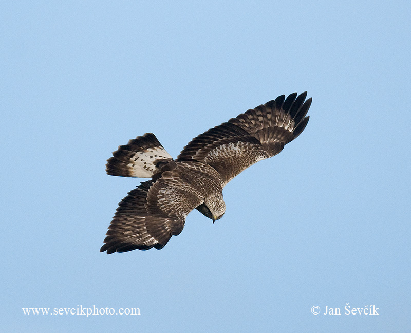 Photo of káně rousná Buteo lagopus Rough-legged Buzzard Rauhfußbussard