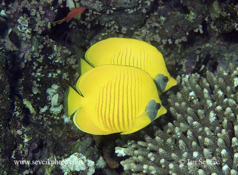 Photo of klipka Chaetodon semilarvatus Golden Butterflyfish