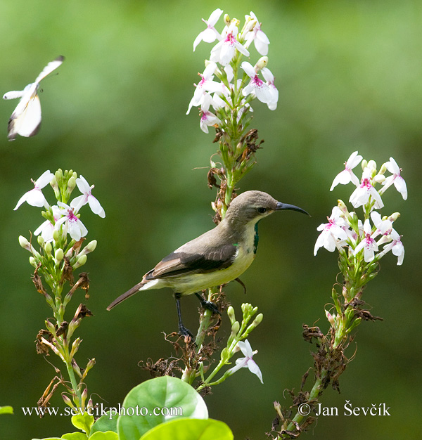 Photo of strdimil Cinnyris pulchellus Beautiful Sunbird Elfennektarvogel