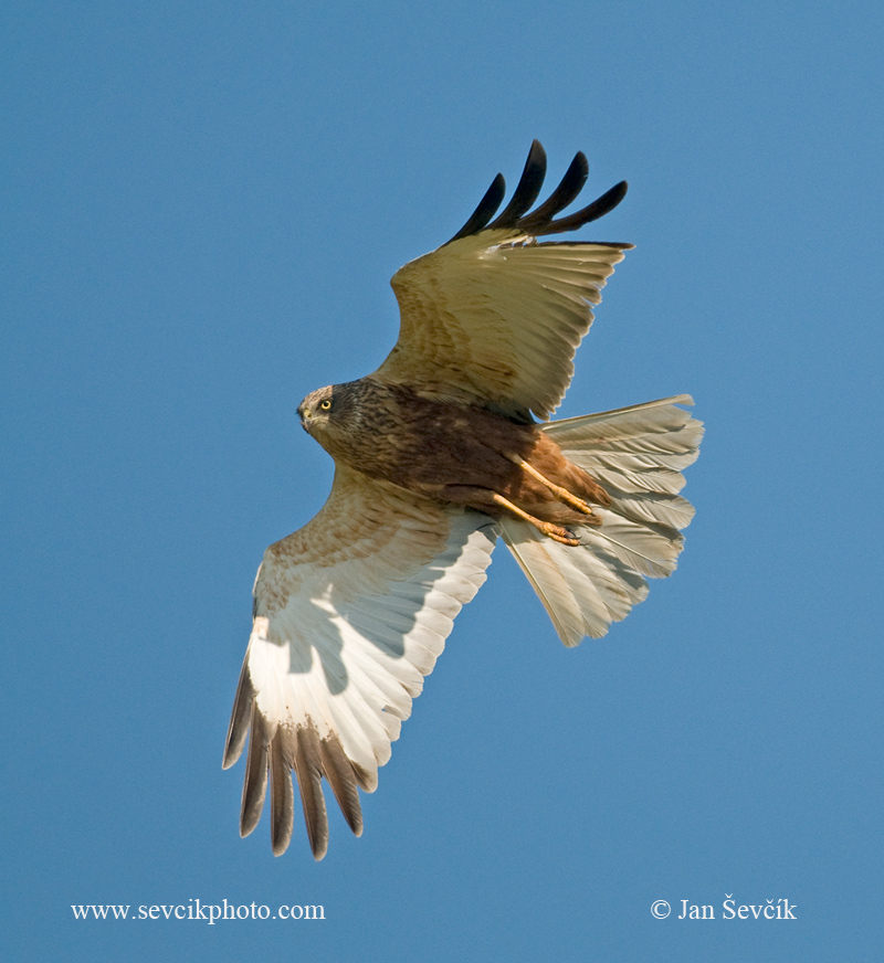 Photo of moták pochop Circus aeruginosus Marsh Harrier