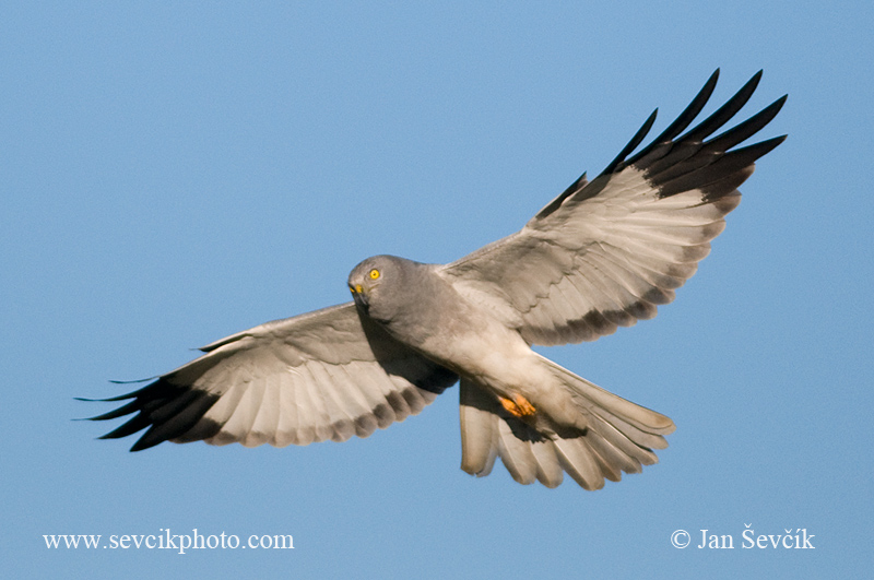 Photo of moták pilich Circus cyaneus Hen Harrier Kornweihe