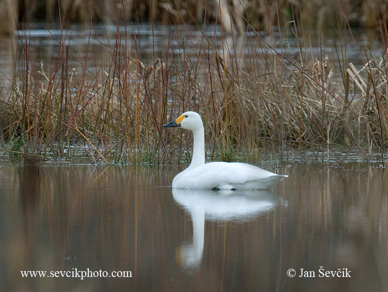 Photo of labuť malá Cygnus columbianus Tundra Swan Pfeifschwan