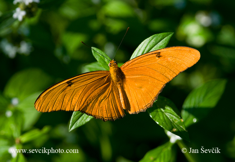 Photo of Dryas iulia Julia butterfly Mariposa Flama