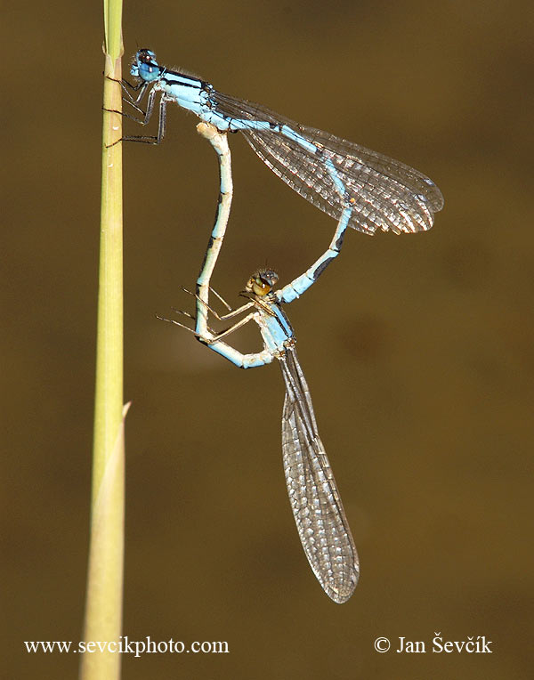 Photo of Šidélko kroužkované Enallagma cyathigerum Common blue damselfly  Becher-Azurjungfer