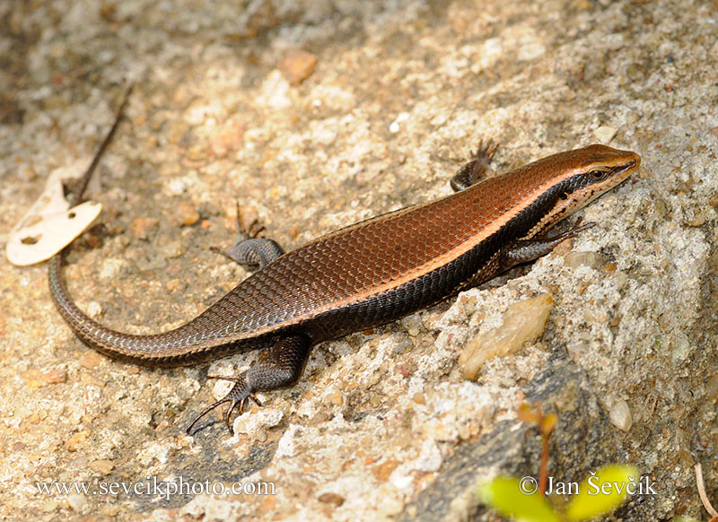 Photo of scink Eutropis macularia Rock Skink Skinke