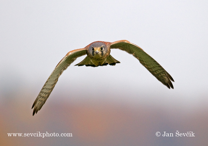Photo of poštolka obecná Falco tinnunculus Kestrel Turmfalke