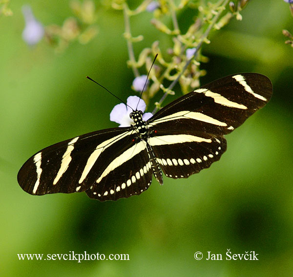 Photo of motýl Heliconius charithonia