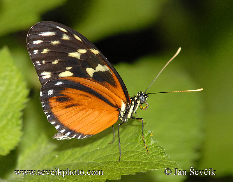 Photo of motýl Heliconius hecale