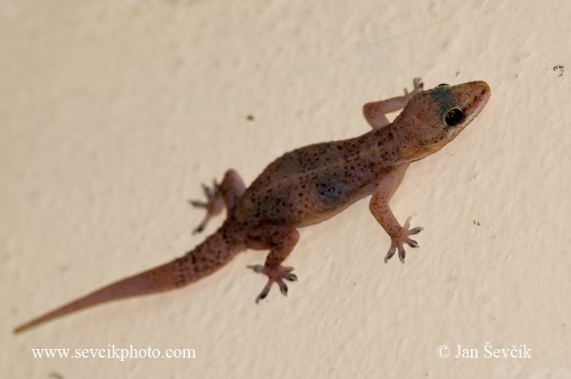 Photo of gekon Hemidactylus brooki Brook's House Gecko  Hausgecko Salamanca