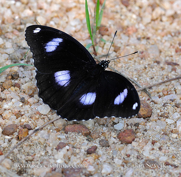 Photo of hnědásek Hypolimnas bolina Diadem Butterfly