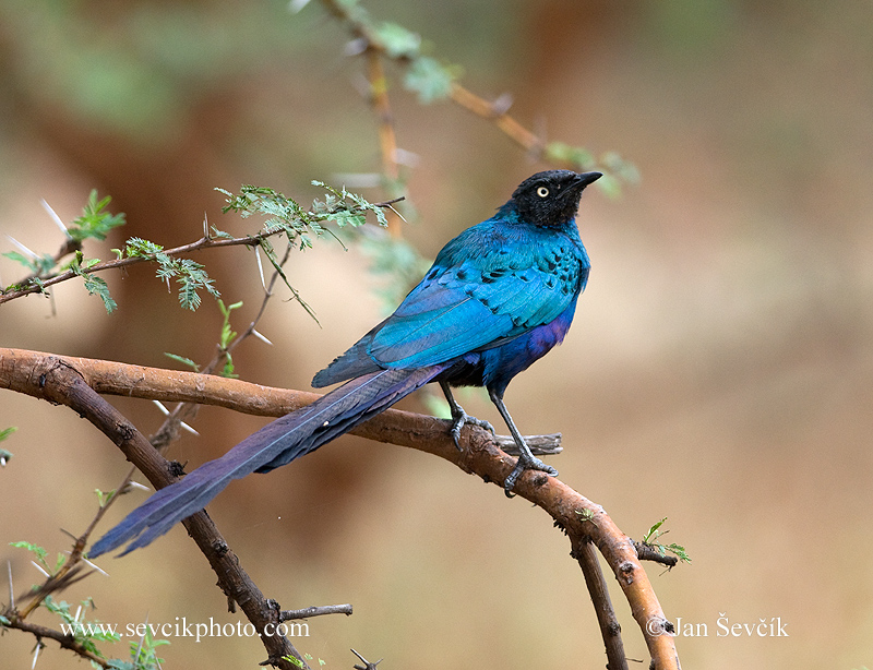 Photo of leskoptev dlouhoocasá Lamprotornis caudatus Long-tailed Glossy Starling Langschwanz Glanz