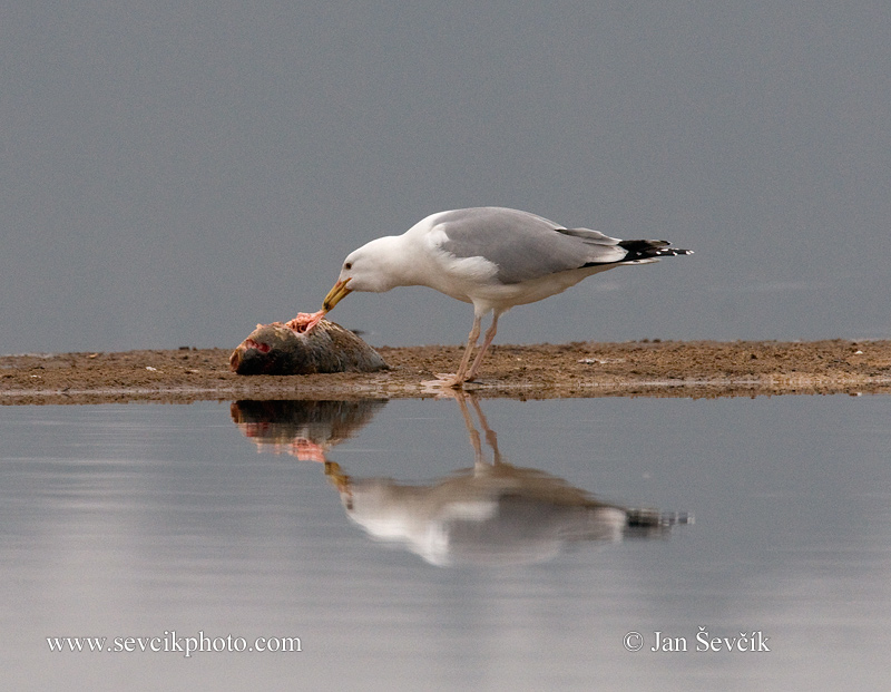 Photo of racek bělohlavý Larus cachinnans Yellow-legged Gull Weißkopfmöwe