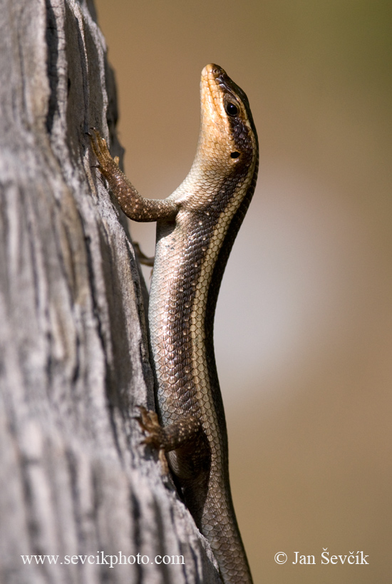 Photo of mabuja páskovaná Mabuya striata African striped skink