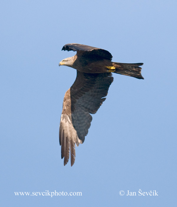 Photo of luňák hnědý Milvus migrans Black Kite Schwarzmilan