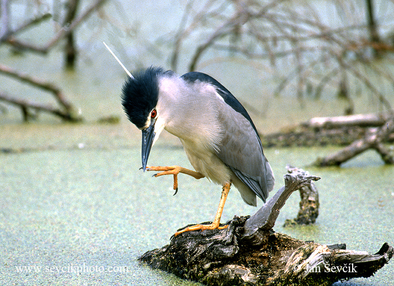 Photo of kvakoš noční Nycticorax nycticorax Night Heron Nachtreiher