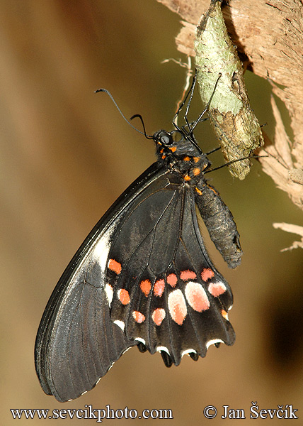 Photo of otakárek Papilio anchisiades