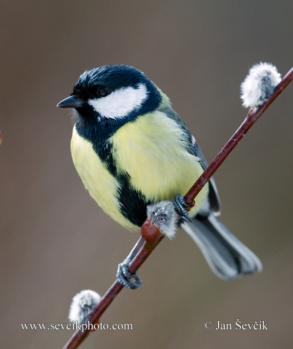 Photo of sýkora koňadra Parus major Great Tit Kohlmeise