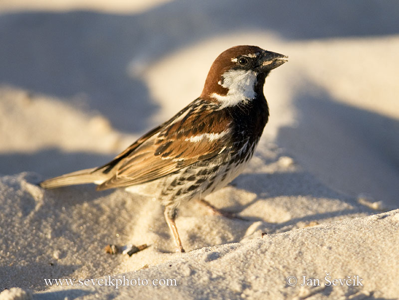 Photo of Vrabec pokřovní Passer hispaniolensis Spanish Sparrow Weidensperling