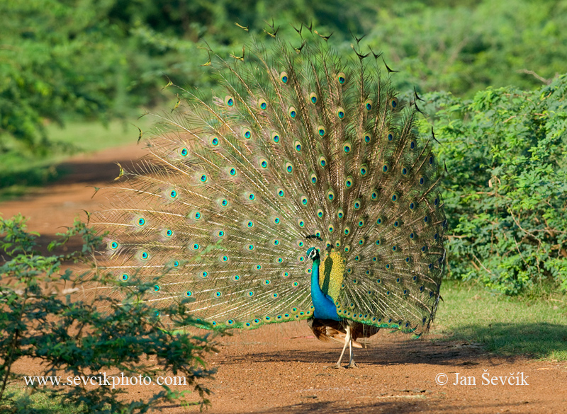 Photo of páv korunkatý Pavo cristatus Indian Peafovl Pfau