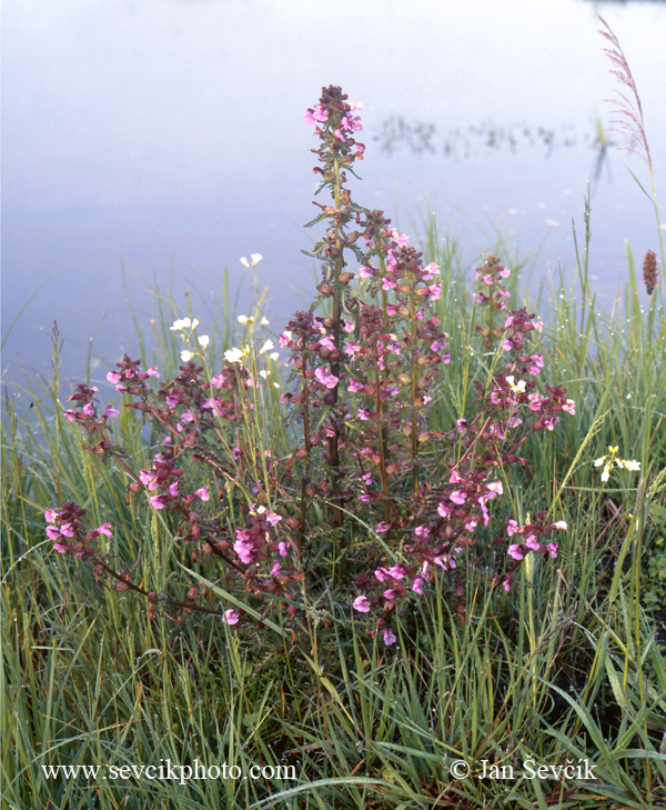 Photo of všivec bahenní Pedicularis palustris Sumpf-lausekraut Marsh Lousewort