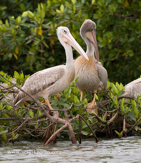 Photo of pelikán africký Pelecanus rufescens Pink-backed Pelican Rotelpelikan