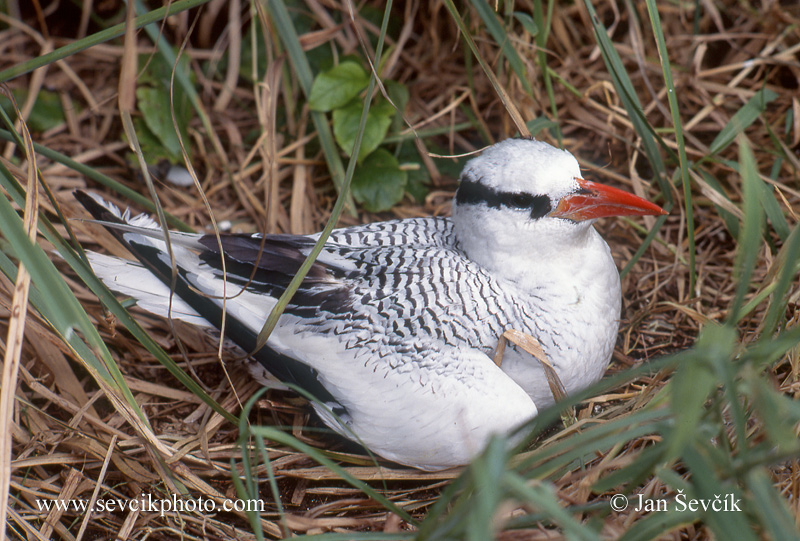 Photo of faeton červenozobý Phaethon aethereus Red billed Tropicbird Rabijunco Piquirrojo
