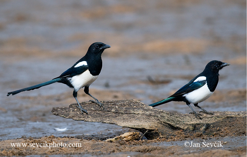 Photo of straka obecná Pica pica Magpie Elster