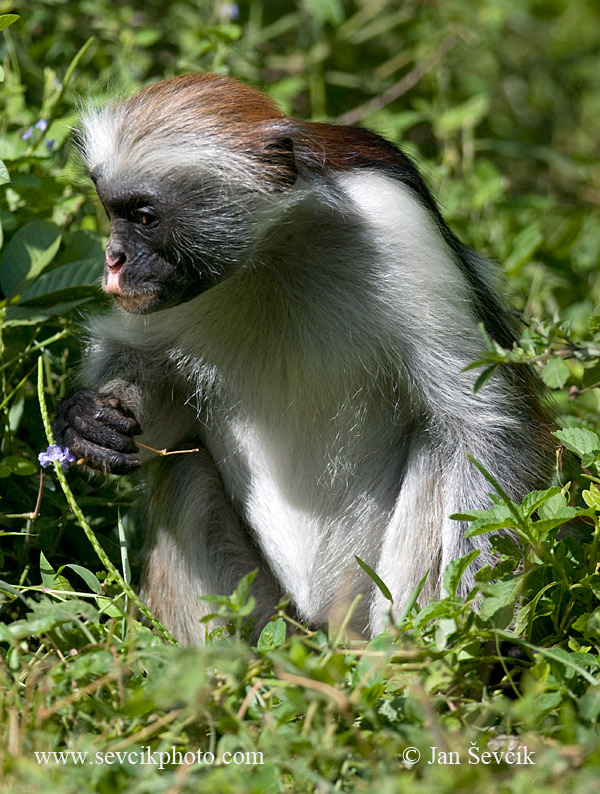 Photo of Guareza zanzibarská Piliocolobus kirkii Zanzibar red colobus Sansibar-Stummelaffe