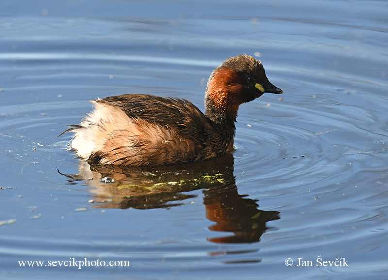 Photo of potápka malá Tachybaptus ruficollis Zwergtaucher Little Grebe