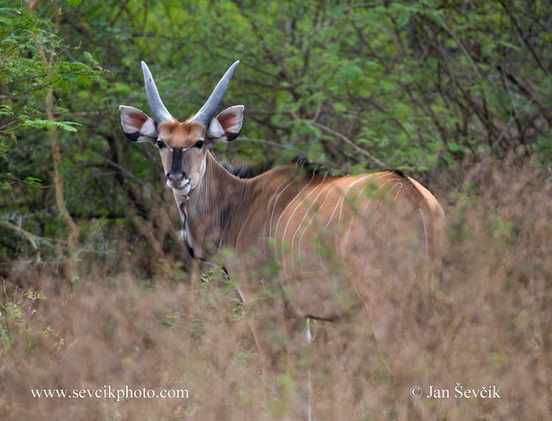 Photo of antilopa Derbyho Taurotragus derbianus Giant Eland Riesen-elenantilope