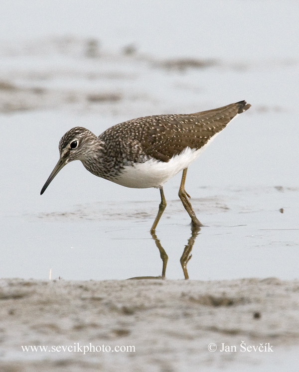 Photo of vodouš kropenatý Tringa ochropus Green Sandpiper Waldwasserläufer