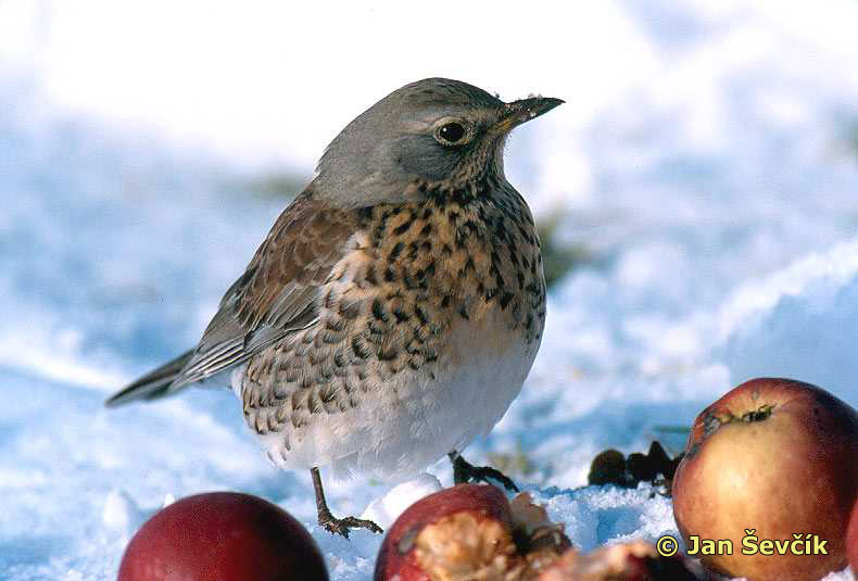 Photo of Turdus pilaris, Wacholderdrossel, Fieldfare, drozd kvíčala.