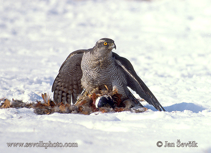 Photo of jestřáb lesní Accipiter gentilis Goshawk Habicht