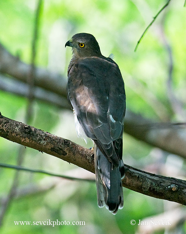 Photo of krahujec šikra Accipiter badius Shikra Schikrasperber