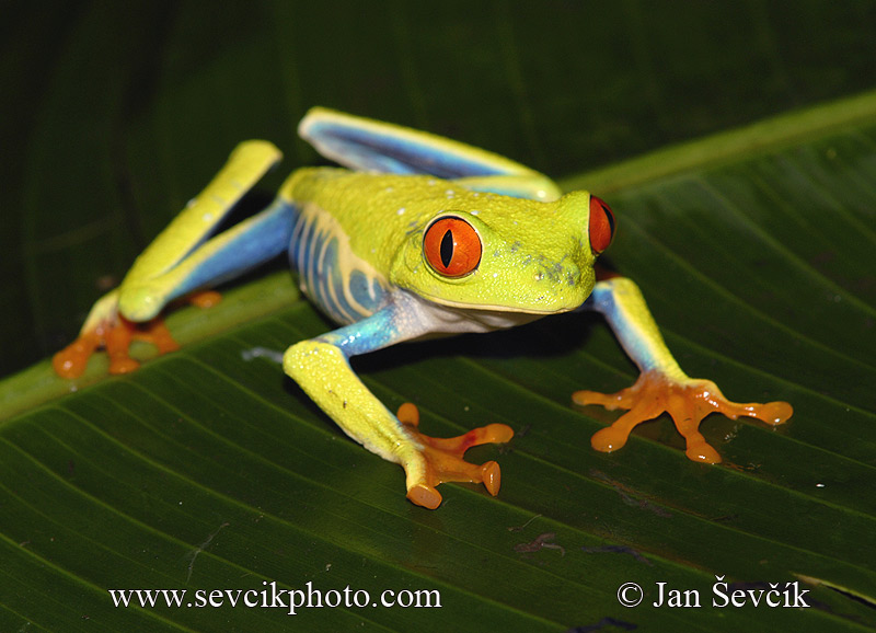 Photo of listovnice červenooká Agalychnis callidryas Red-eyed Tree Frog