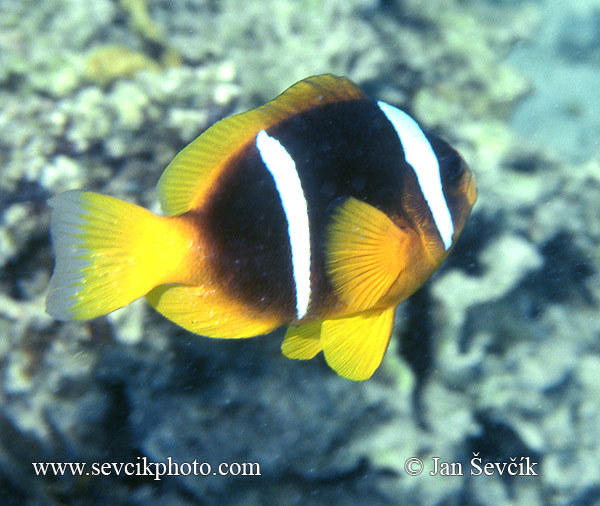 Photo of klaun Amphiprion sp. Anemonefish