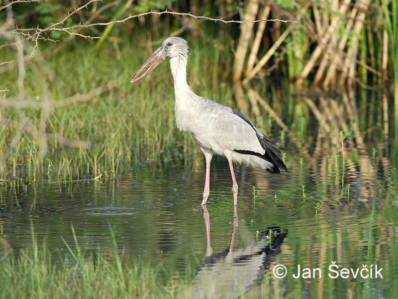 Photo of zejozob asijský Anastomus oscitans Asian Openbill Silberklaffschnabel