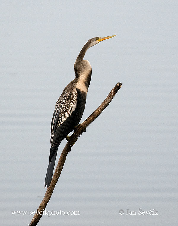 Photo of anhinga indomalajská Anhinga melanogaster Indian Darter