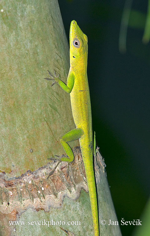 Photo of leguánek Anolis chlorocyanus Hispaniolan Green Anole Anole verde de La Hispaniola