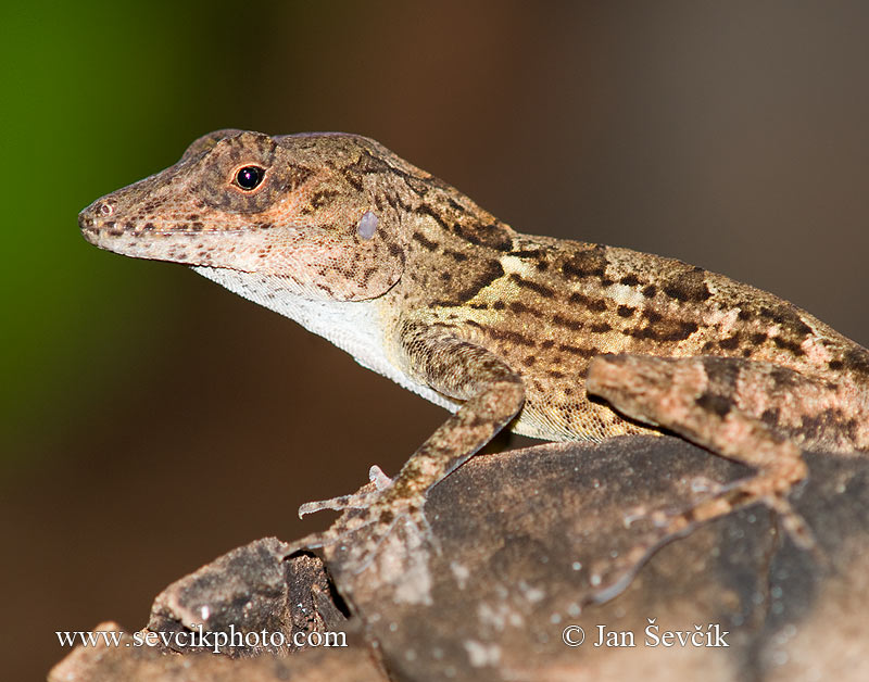 Photo of Anolis cybotes Large-headed Anole Anolis Cabezón